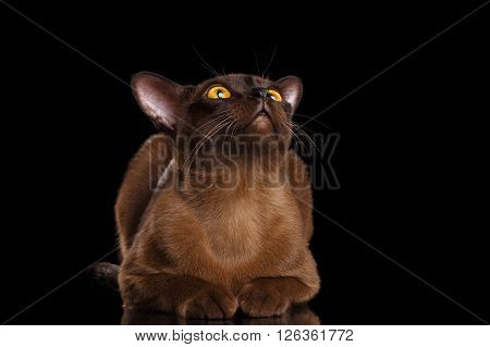 Burmese Cat Lying and Curious Looking up Isolated on black background