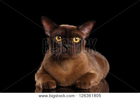 Burmese Cat Lying and Curious Looking in Camera Isolated on black background