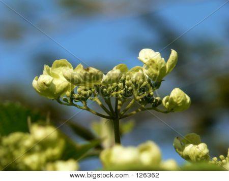 Resurrection Flower