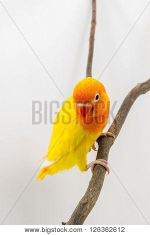Little Yellow Lovebird Chick