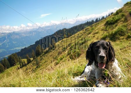 English Setter mountain hiking in the Bavarian alps
