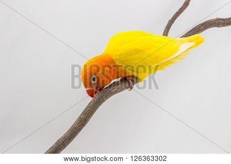 Little Yellow Lovebird Chick