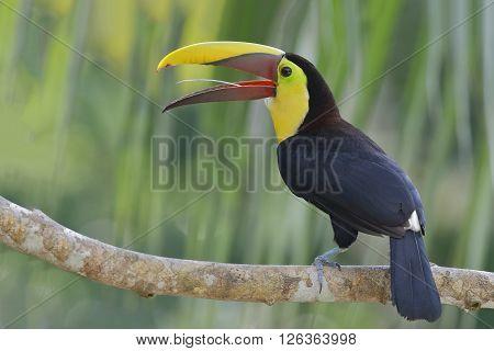 Chestnut-mandibled Toucan (Ramphastos swainsonii) - Gamboa, Panama