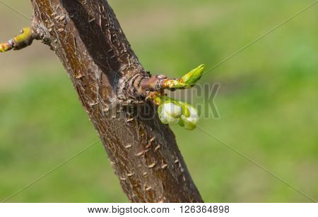 New inflorescence on a small cherry-tree branch at spring season