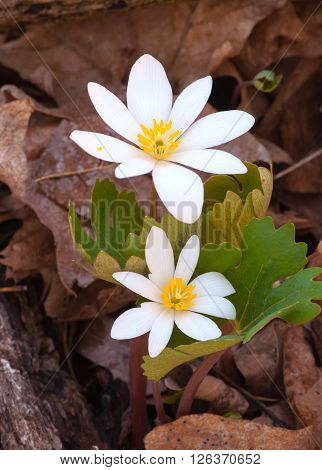 A beautiful spring time Bloodroot blooms after emerging from the decaying leaves on the forest floor.