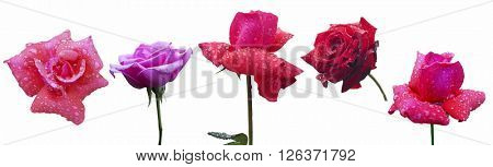 Roses Flowers Isolated on White Background.Set of flowers