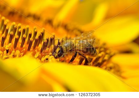 Honeybee collects nectar on the flowers of a sunflower