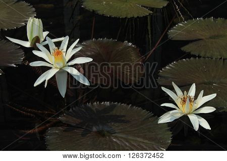 Lily pads and flowers floating on the water.