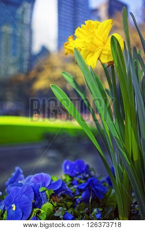Yellow Narcissus and heartsease flowers in Bryant Park in Midtown Manhattan New York USA. Skyscrapers blurred on the background. Selective focus