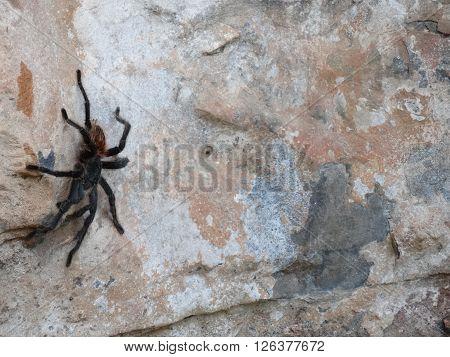 Tarantula brasileira na parede externa de uma caverna em Minas Gerais