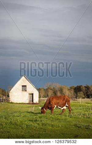 Huge Ox on the fields with a barn and dramatic sky