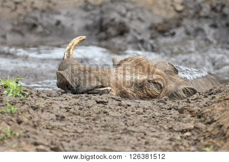 Lone warthog playing in wet mud to cool off