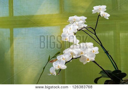 Beautiful spike of white orchids over green background