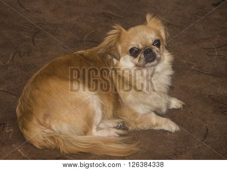 the old adult pekingese dog sitting at the floor