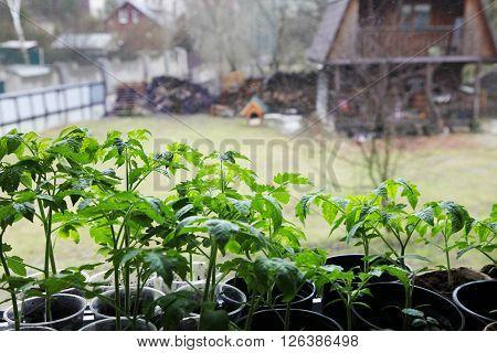 Tomato seedlings against the wet window .