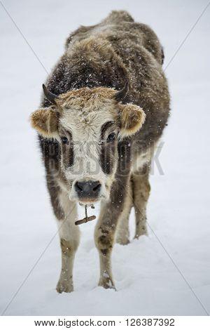 Curly cow on the snow. Georgia. Svaneti