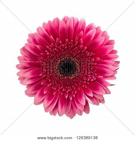 Pink gerbera daisy flower isolated on white background