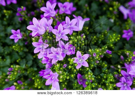 Close-up of purple colored Campanula Magic Mee ** Note: Visible grain at 100%, best at smaller sizes