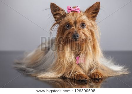 Portrait of yorkshire terrier female dog on gray background with pink bow tie.