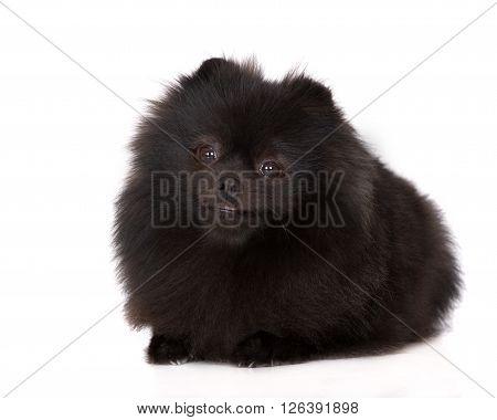 black pomeranian spitz dog lying down on white