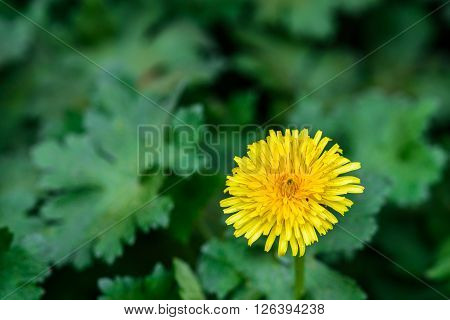 Yellow dandelion bloom in a garden bed of hardy geraniums