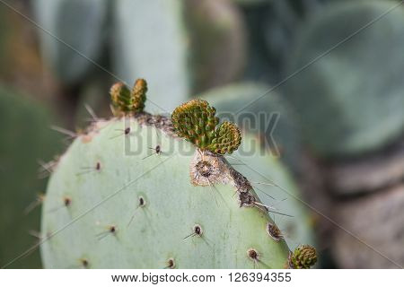 Close up of prickly pear cactus close up, cactus spines ** Note: Shallow depth of field