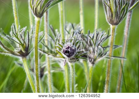 spring flowers - pasque flower on meadow