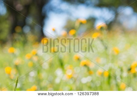 Closeup of Blurred Green Field With Yellow Flowers