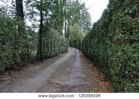 Arborvitae bushes (Thuja occidentalis) have been covered with a plastic mesh to prevent deer damage, along a driveway towards a lakefront mansion on Glenn Drive in Harbor Springs, Michigan.