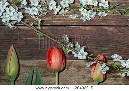 Spring background with flowers and copy Space. Spring flowers: three tulips and blossoming cherry branch on rough wooden background. Close-up top view image.