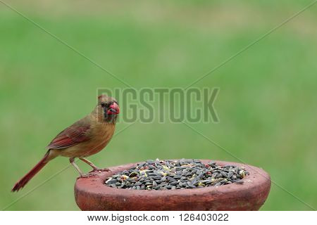 A Female Northern Cardinal on Bird Feeder