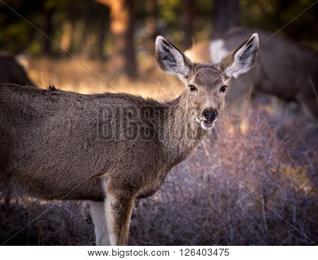 Mule Deer, Rocky Mountain National Park, Colorado