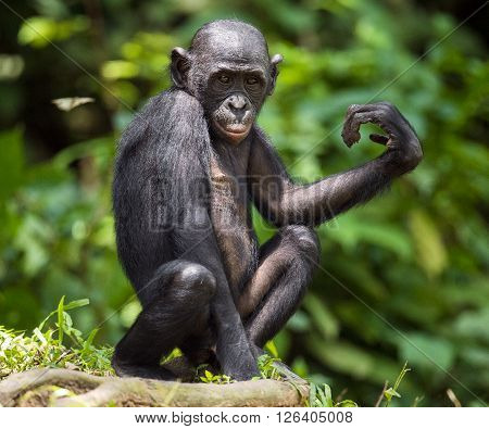 Bonobos (pan Paniscus) On Green Natural Background.