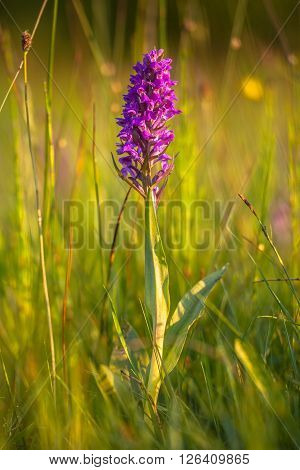 Natural Grass Field With Wild European Orchids