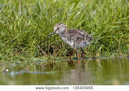 Chick Of A Common Redshank