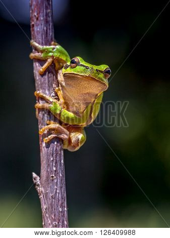 European Tree Frog Dark Image