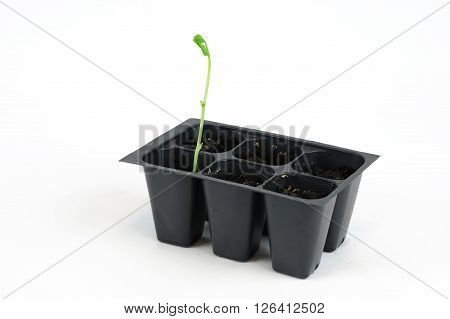 seedling in black plastic tray isolated on white