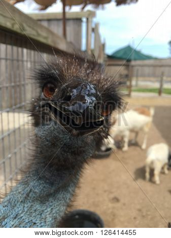 This is an emu at an animal rescue.