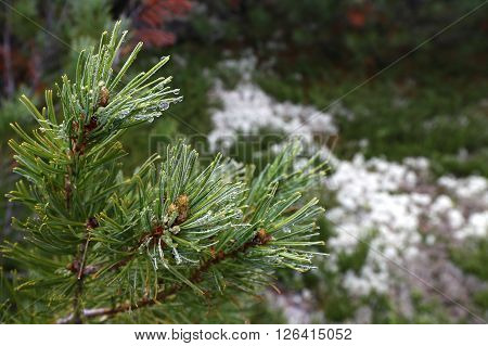 Cedar wakes up from winter and is released from the snow ** Note: Soft Focus at 100%, best at smaller sizes