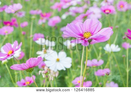 Cosmos flower (Cosmos Bipinnatus) with blur background (Bright Soften Style)