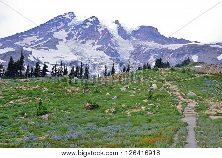 Landscape view of Mt. Rainier during spring time with flowers