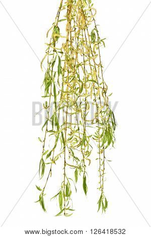 Young branches of willow with catkins on a white background.