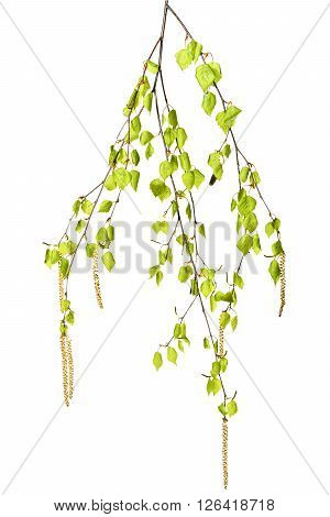 Young birch twig with catkins on a white background.