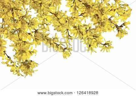 Twigs of forsythia with yellow flowers on a white background.