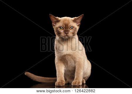 Little Burmese kitten with beige fur Sitting on Isolated black background
