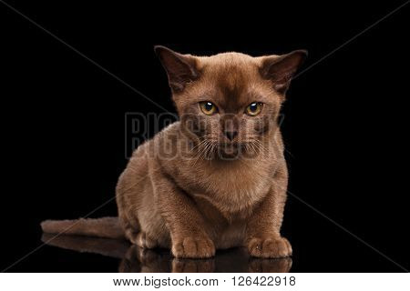 Burmese kitten with Chocolate fur on Isolated black background Lying and Curiously Looking in Camera