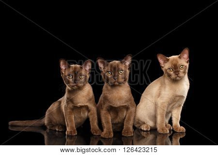 Three Little Burmese kittens Sitting on Isolated black background and Looking in Camera