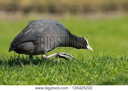 An adult Eurasian coot ( Fulica atra) walking on green grass, The Netherlands