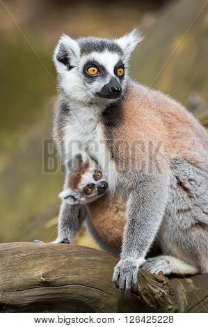 Portrait of lemur katta (Lemur catta) adult female with cub