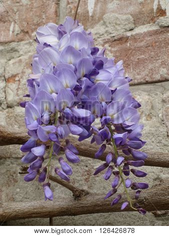 Wisteria flowers. Wisteria is a genus of flowering plants in the pea family Fabaceae that includes ten species of woody climbing bines native to the Eastern United States and to China Korea and Japan. Some species are popular ornamental plants.